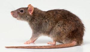 A patkányok már komolyabb gondot okozhatnak