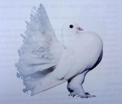 Magyar páva galamb