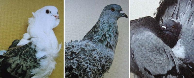 Tollalakzatos galambok